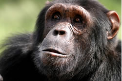 Chimpanzee Trekking in Kibale Forest National Park