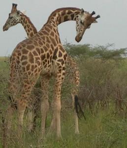 Giraffes-Murchison
