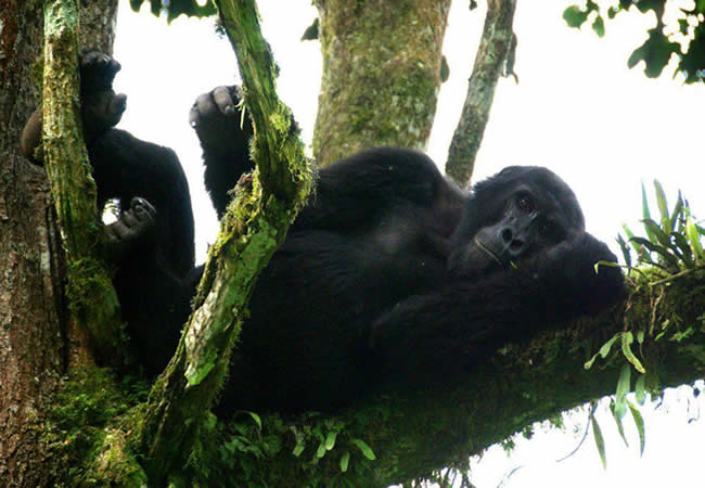 gorilla site