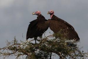 vultures22