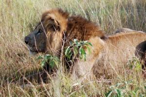 lion in queen