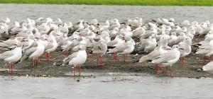 lutembe birds