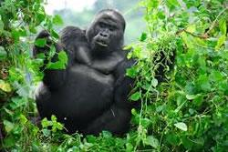 Gorillas in Mist