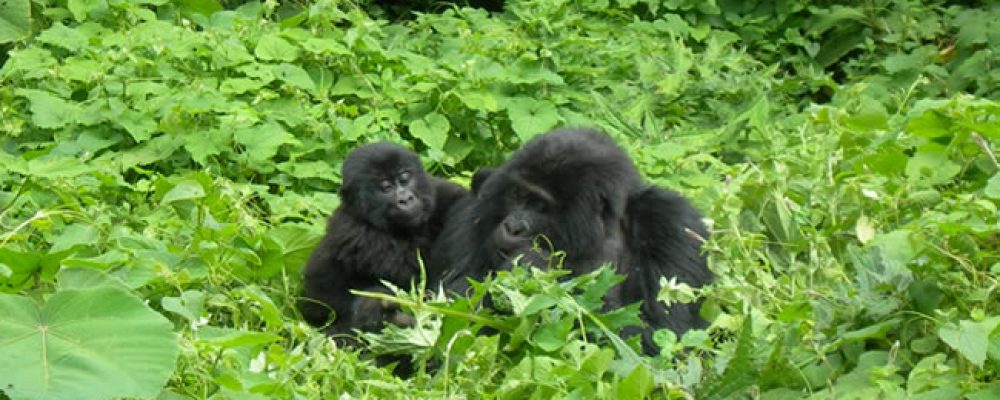Uganda Gorilla Tours & Safaris Experience