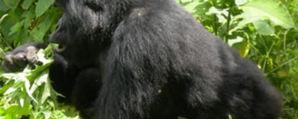 Uganda gorilla trekking tops Uganda best destination in Africa