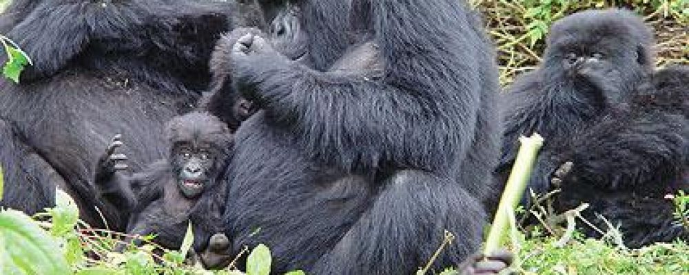 Uganda For Gorilla Tours-Mountain Gorilla Facts