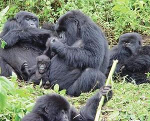 Gorilla-twins1