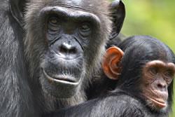 Chimpanzee Tracking Safaris